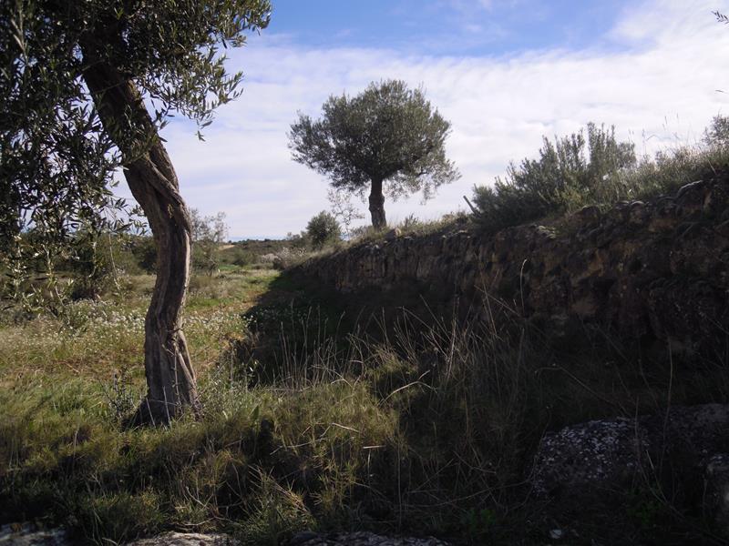Contemplar les oliveres