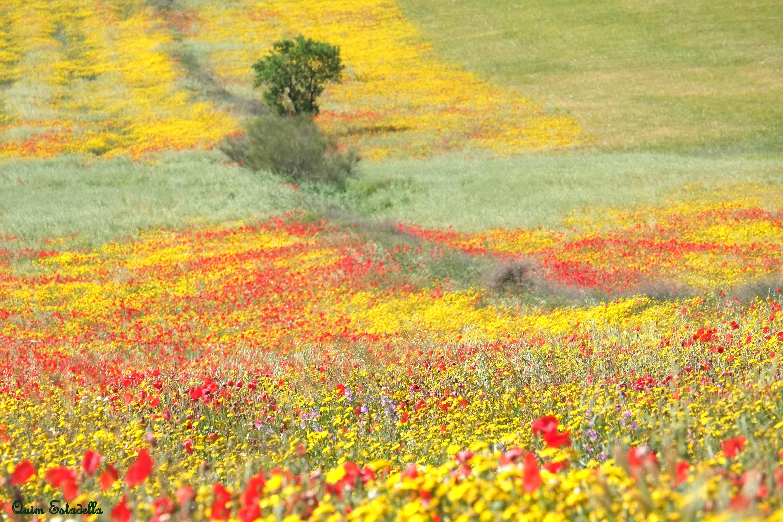 Vista dels sembrats florits