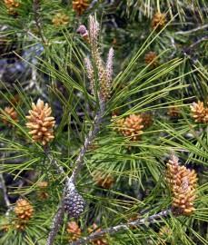 Pinus-halepensis-Tossals-Almatret