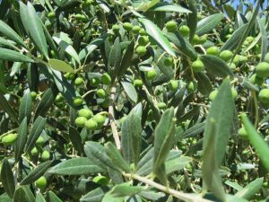 olivers (6)